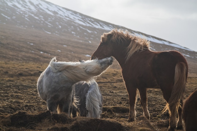 アイスランドの日光の下で雪と草に覆われたフィールドで遊ぶアイスランドの馬 無料写真