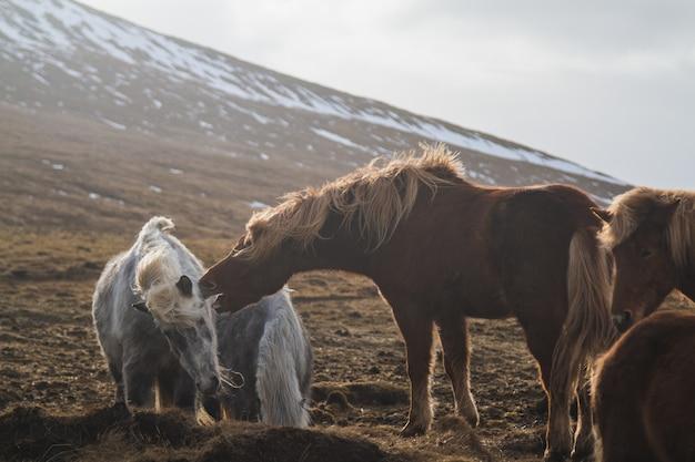 アイスランドの馬に囲まれたフィールドで互いに遊んでいるアイスランドの馬 無料写真