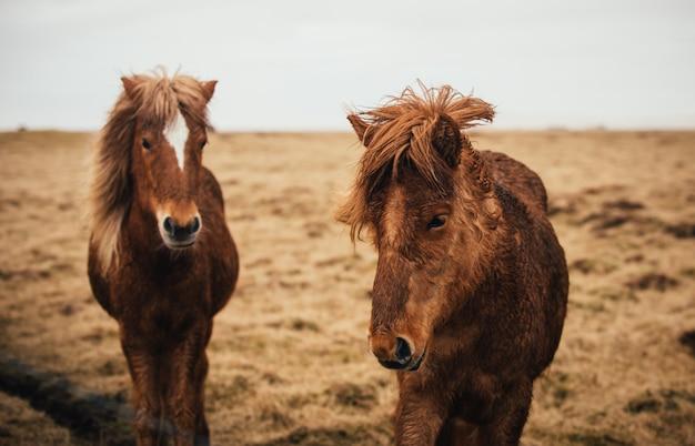無料で実行されているアイスランドの馬 Premium写真