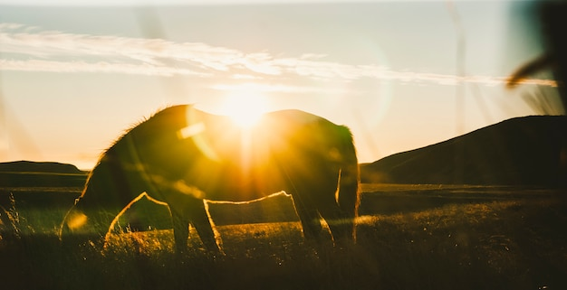 Icelandic landscapes, sunset in a meadow with horses grazing  backlight Premium Photo