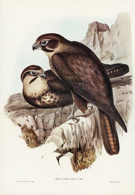 エリザベス・グールドが描いたブラウン・ホーク(ieracidea berigora) 無料写真