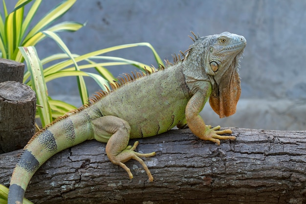 iguana-iguanidae-prehistoric-reptiles_42063-66.jpg