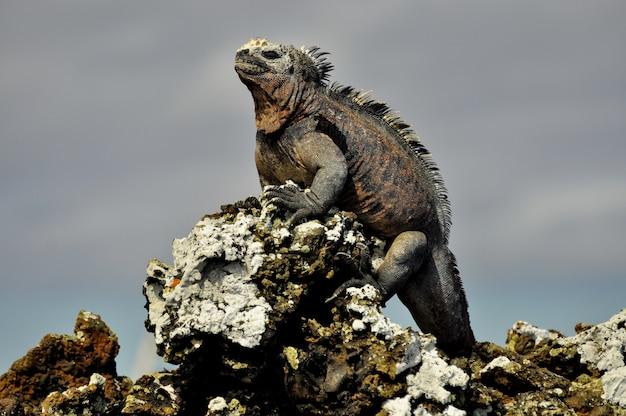 An iguana on a rock Premium Photo