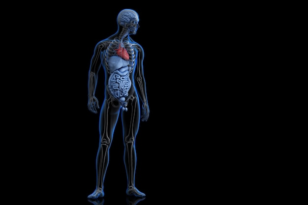 Illustration of human anatomy with highlighted heart. 3D ...