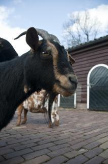 Im a, animale di capra, gli animali Foto Gratuite