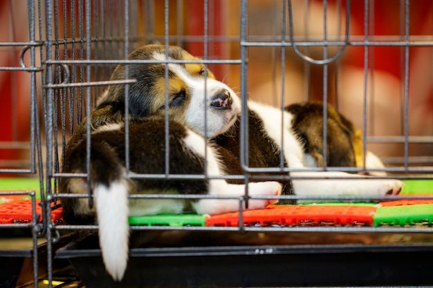 Premium Photo | Image of beagle puppy is in the cage. dog. pet. animals.