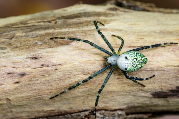 Image of cyrtophora moluccensis spider(male)(doleschall, 1857., tent spider) on the timber. insect animal Premium Photo