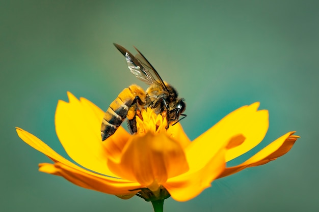 Image of giant honey bee(apis dorsata) on yellow flower collects nectar Premium Photo