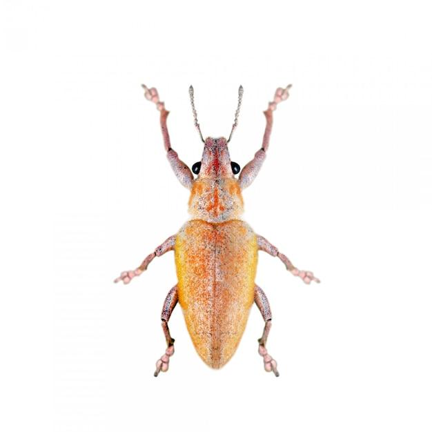Image of leaf eating weevil (hypomeces squamosus) isolated on white background Premium Photo