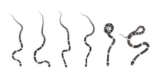 Image of little snake set (lycodon laoensis), reptile, animals Premium Photo