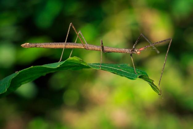 Изображение сиамского гигантского насекомого на листьях на фоне природы Premium Фотографии