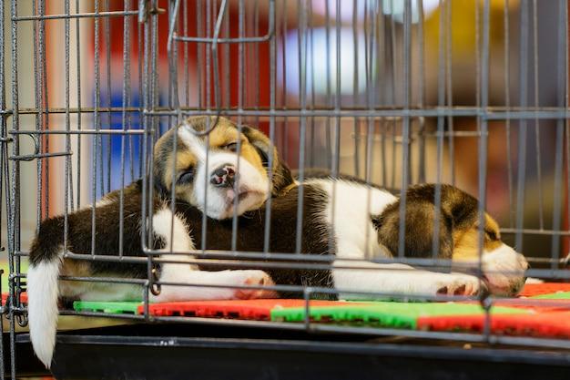 ビーグルの子犬の画像はcageの中にあります。犬。ペット。動物。 Premium写真