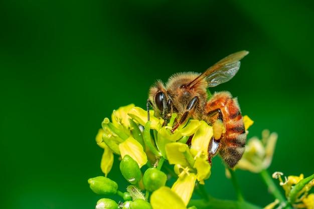 花の上の蜂やミツバチの画像は蜜を収集します。花粉に金色のミツバチ、テキストにスペースをぼかします。 Premium写真