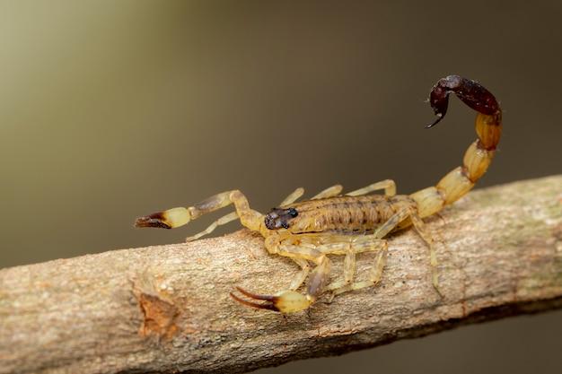 Изображение коричневого скорпиона на коричневой сухой ветви дерева. насекомое. animal. Premium Фотографии