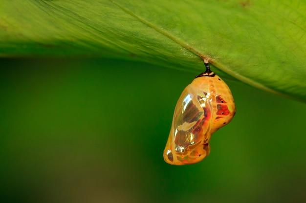 Изображение куколки куколки бабочки висит под зелеными листьями Premium Фотографии