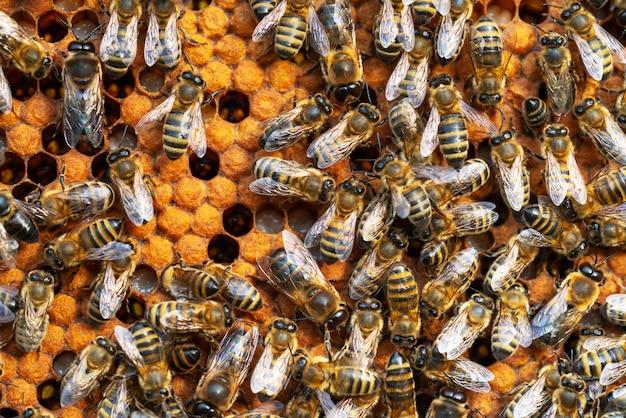 Крупный план рабочих пчел на сотах. пчеловодство и производство меда image Premium Фотографии