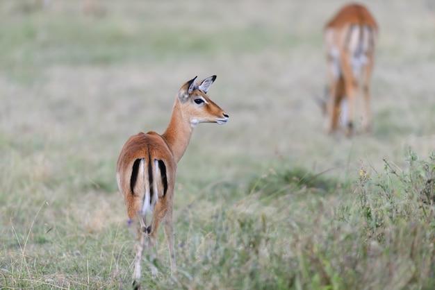 Импала в саванне в национальном парке африки, кения Бесплатные Фотографии