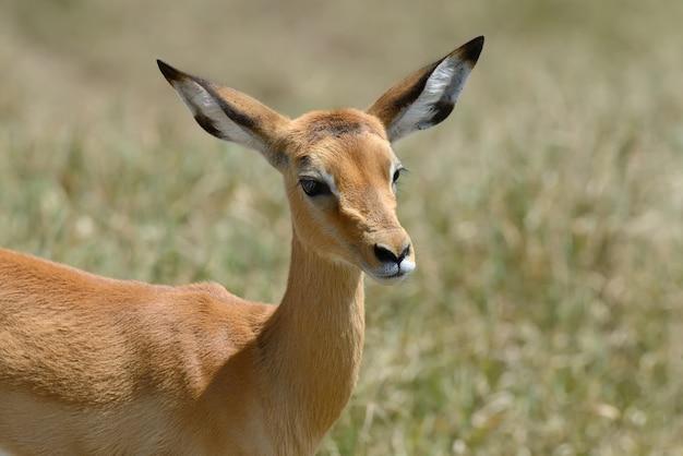 Impala on savanna in national park of africa, kenya Free Photo