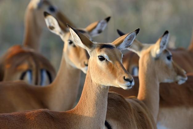 Impalas in the wild Free Photo