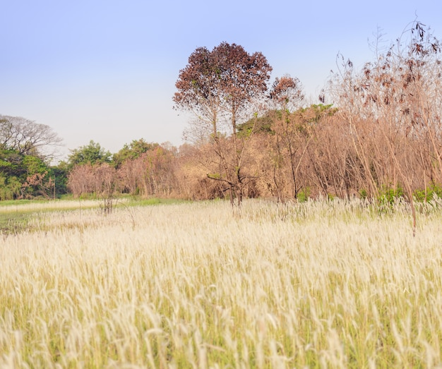 Imperata cylindrica beauv of feather grass in nature Premium Photo
