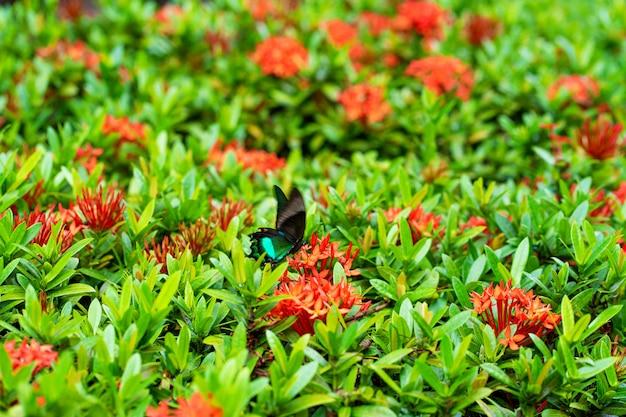 Невероятно красивая дневная тропическая бабочка papilio maackii опыляет цветы. черно-зеленая бабочка пьет нектар из цветов. цвета и красота природы Premium Фотографии
