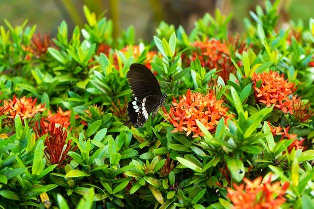 Невероятно красивая дневная тропическая бабочка papilio maackii опыляет цветы. черно-белая бабочка пьет нектар из цветов. цвета и красота природы Premium Фотографии