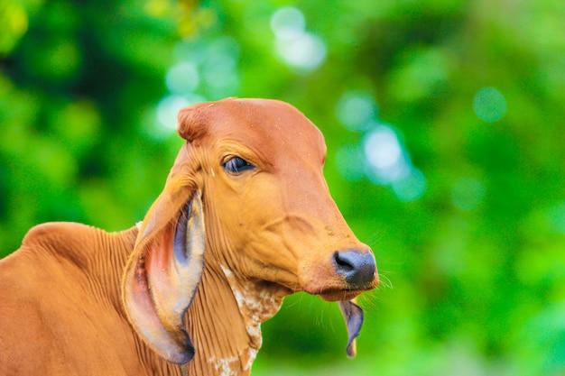 Indian cow Premium Photo