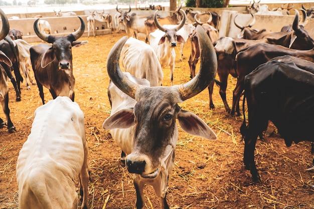 Indian dairy farming, indian cattle Premium Photo