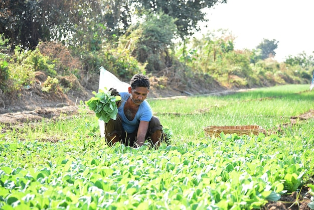 Indian farm worker planting cabbage in field and holding bunch of small plant of cabbage in hands Premium Photo