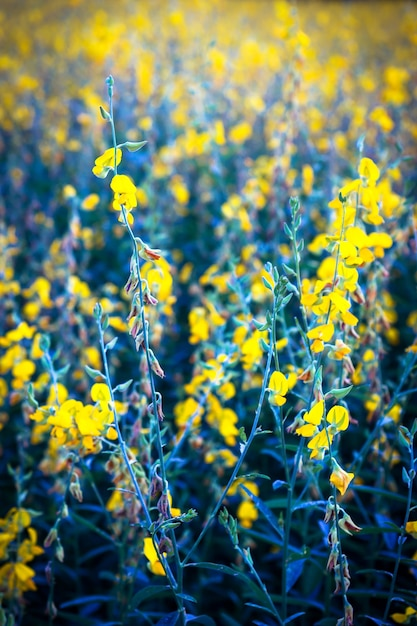 Indian hemp field. yellow flower. Premium Photo