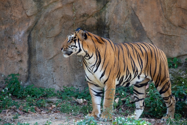 indochinese tiger panthera tigris corbetti photo