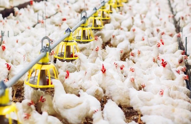 Indoors chicken farm, chicken feeding Premium Photo