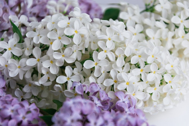 Inflorescences of white and violet lilacs on white Premium Photo