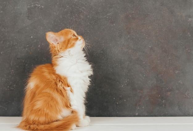 ふわふわ生inger子猫は暗い灰色の背景に座っています。 Premium写真