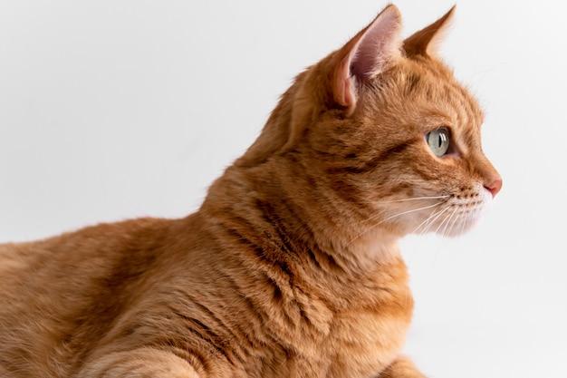 思慮深く目をそむける生inger猫 Premium写真