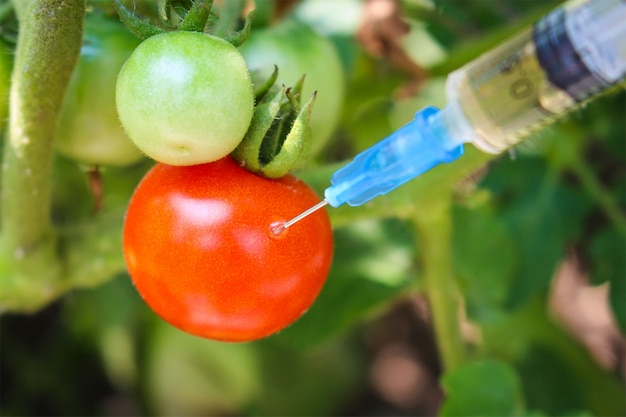 Injection of syringe in red tomato in garden Premium Photo
