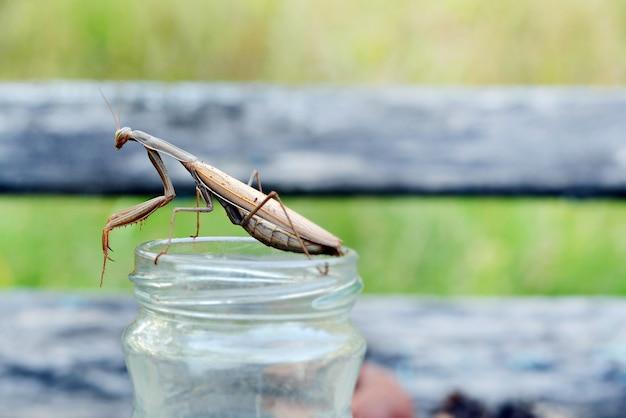 Insect Mantis In The Wild Female European Praying Mantis Mantis