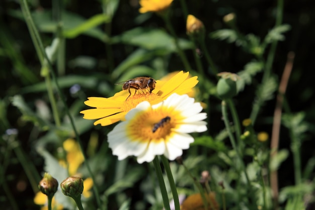 菊の虫 Premium写真