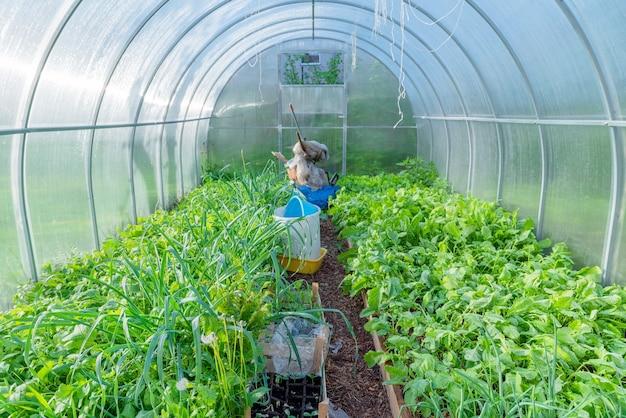 都会の緑の家の中。有機野菜の栽培。都市農業 Premium写真