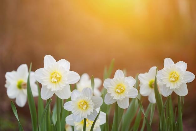 夕日の光の中で白い水仙。 instagramのフィルター。 Premium写真