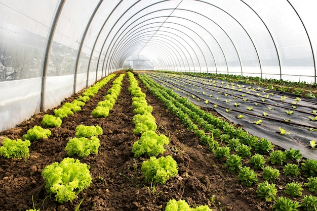Interior of an agricultural greenhouse or tunnel Premium Photo