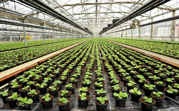 Interior of a commercial greenhouse Premium Photo