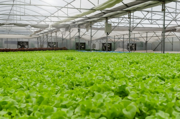 Interior indoor view of organic hydroponic fresh green vegetables produce in greenhouse garden nursery farm, agriculture business, smart farming technology, business farmer and healthy food concept Premium Photo