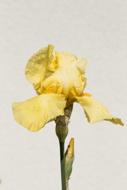 Изолированный iris germanica в семействе iridaceae обычно известен как немецкий бородатый ирис. Premium Фотографии