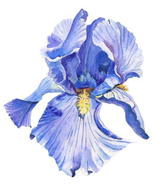 Ирис. акварельный цветок на белом фоне. Premium Фотографии