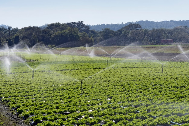 Irrigation system in action in vegetable planting Premium Photo