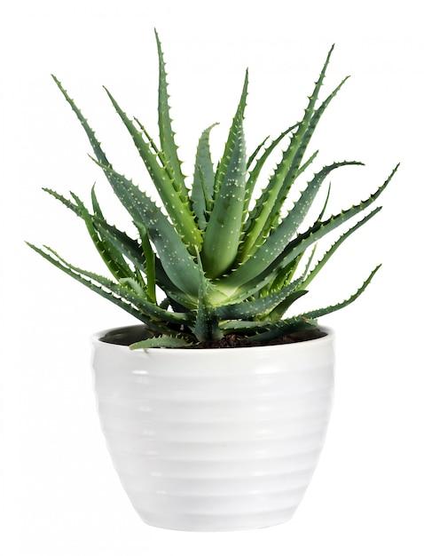 Isolated aloe vera plant on white pot Premium Photo