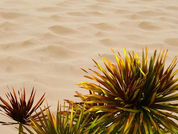 Isolated dracaena loureiri gagnep on desert background Premium Photo