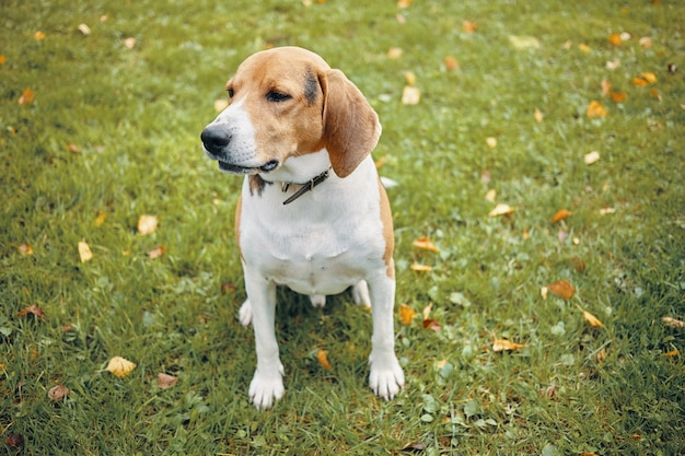 緑の芝生に座って、飼い主と一緒に公園を朝散歩している大人のビーグル犬の孤立した写真。屋外で休んでいる美しい白と茶色の犬。ペットと動物のコンセプト 無料写真