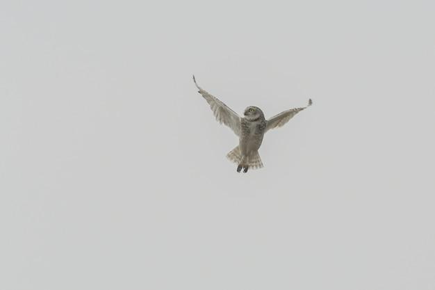 Изолированная съемка маневра совы Бесплатные Фотографии